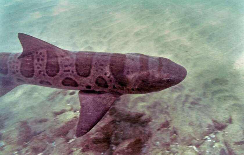 A leopard shark like this one dropped onto a golf course in San Juan Capistrano.