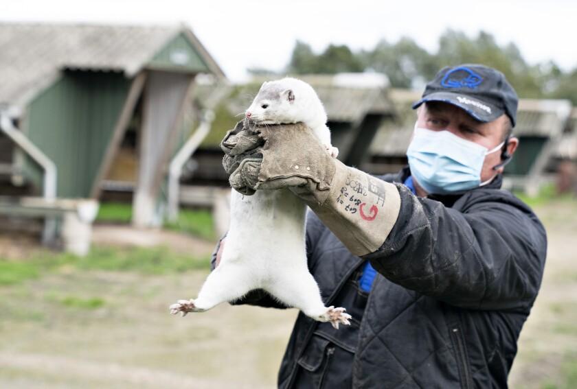 El criador de visones Thorbjoern Jepsen sostiene un ejemplar mientras que policías irrumpen en su granja