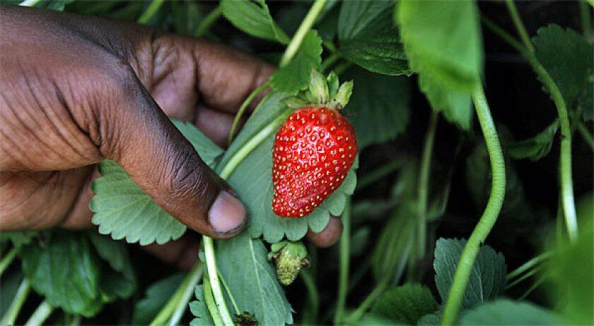 An organically grown strawberry.