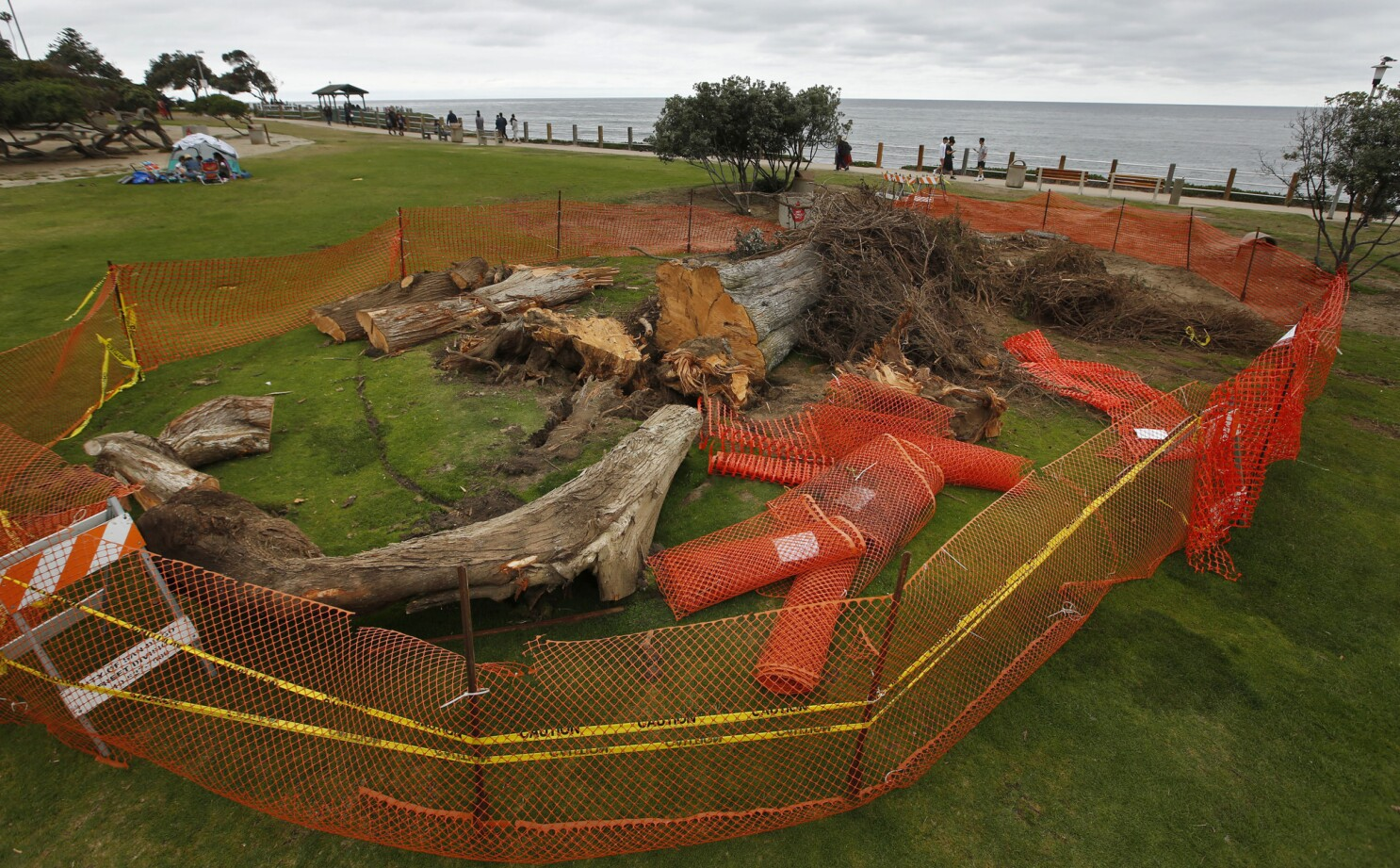 Tree That Some Say Inspired Dr Seuss The Lorax Topples The San Diego Union Tribune