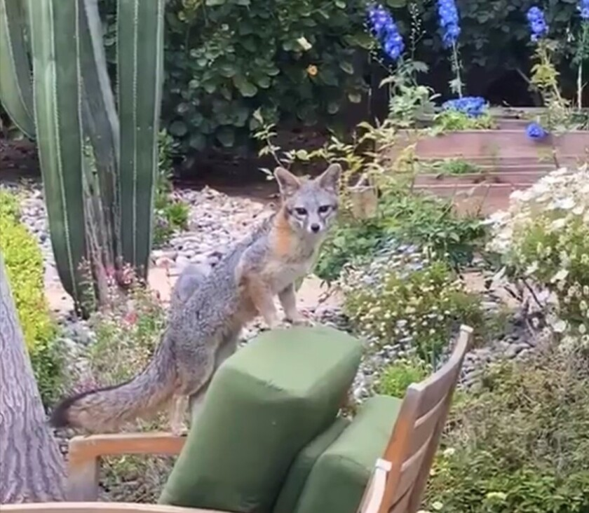A fox relaxes in the garden of a cottage in La Jolla's Windansea area. A mom and four kits romped in the yard for two weeks.
