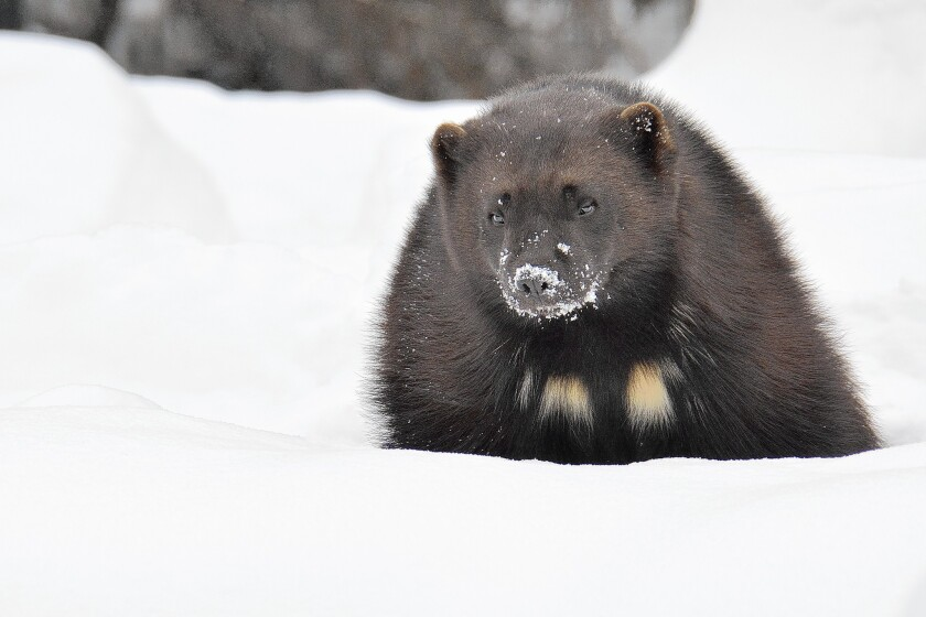 Wolverines live in near-arctic conditions and some biologists fear climate change will greatly affect the animal's habitat. But they disagree about the timing of that impact.