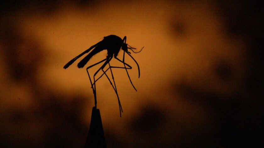 Culex mosquitoes, which most Californians are familiar with, spread West Nile virus.
