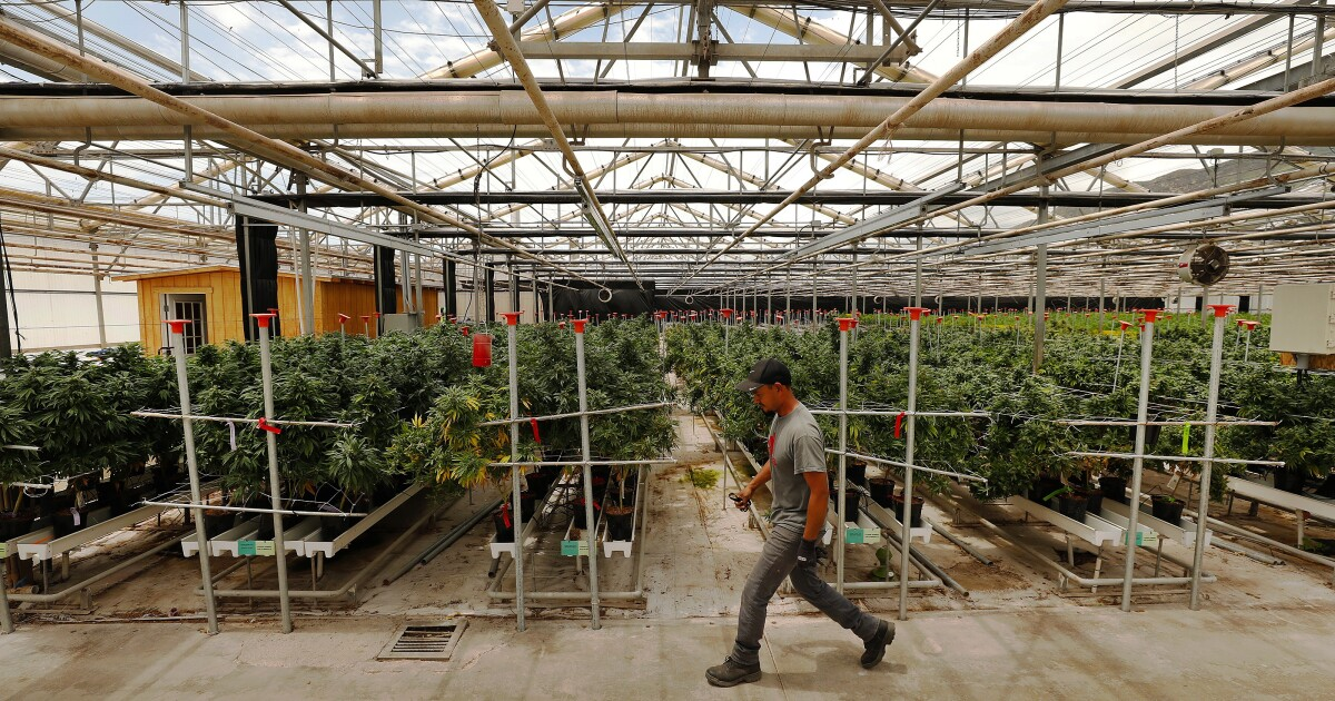 Senate moves to legalize pot at federal level. What are the chances?