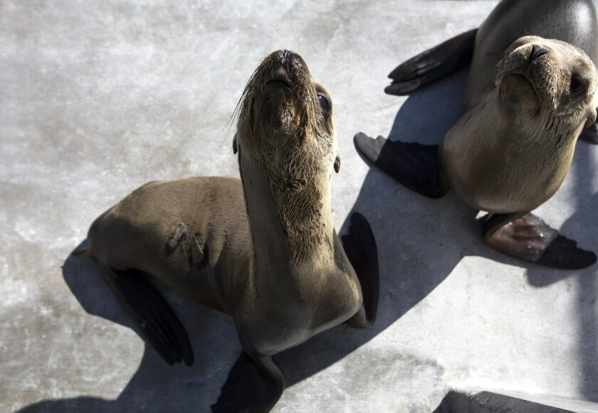 A group of malnourished sea lions at SeaWorld's rescue facility. Photo by Earnie Grafton/UT San Diego/Zuma Press.