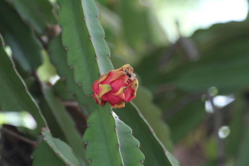 A fruit (pitaya) growing at the junction of the stems of the cactus