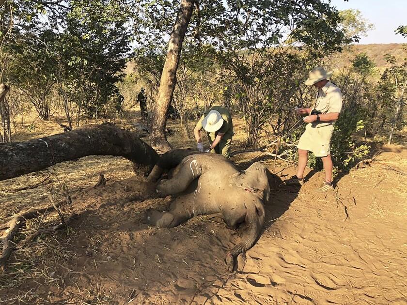 Veterinarios de vida silvestre toman muestras de los restos de elefantes