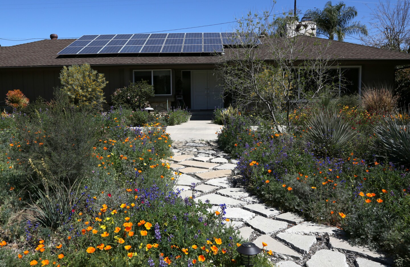 Andrea Fields' former front lawn is now filled with low water plants, a swale and a plethora of wildflowers. The Woodland Hills homeowner took advantage of the turf removal rebate in 2015 -- and received $15,000 to remove and relandscape her front and back lawns.