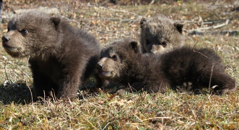 This photo taken on March 10, 2014 and released by animal welfare organisation Four Paws shows three brown bear cubs Ema, Ron and Oska, 6 weeks old, in the Bear Sanctuary in the Kosovo village of Mramor. Animal activists in Kosovo say three brown bear cubs have been rescued from captivity. The cubs