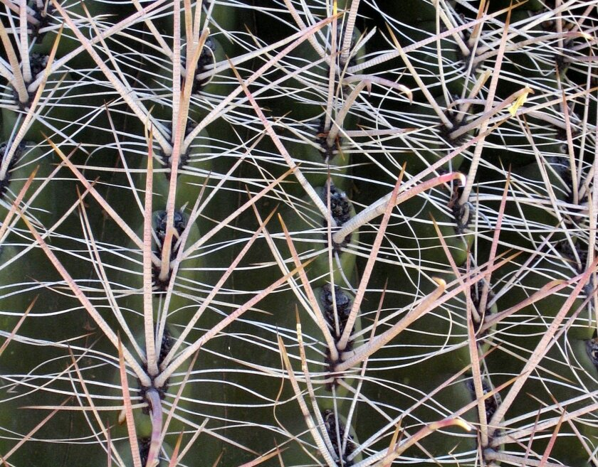 Desert flowers: masters of adaptation - The San Diego Union-Tribune