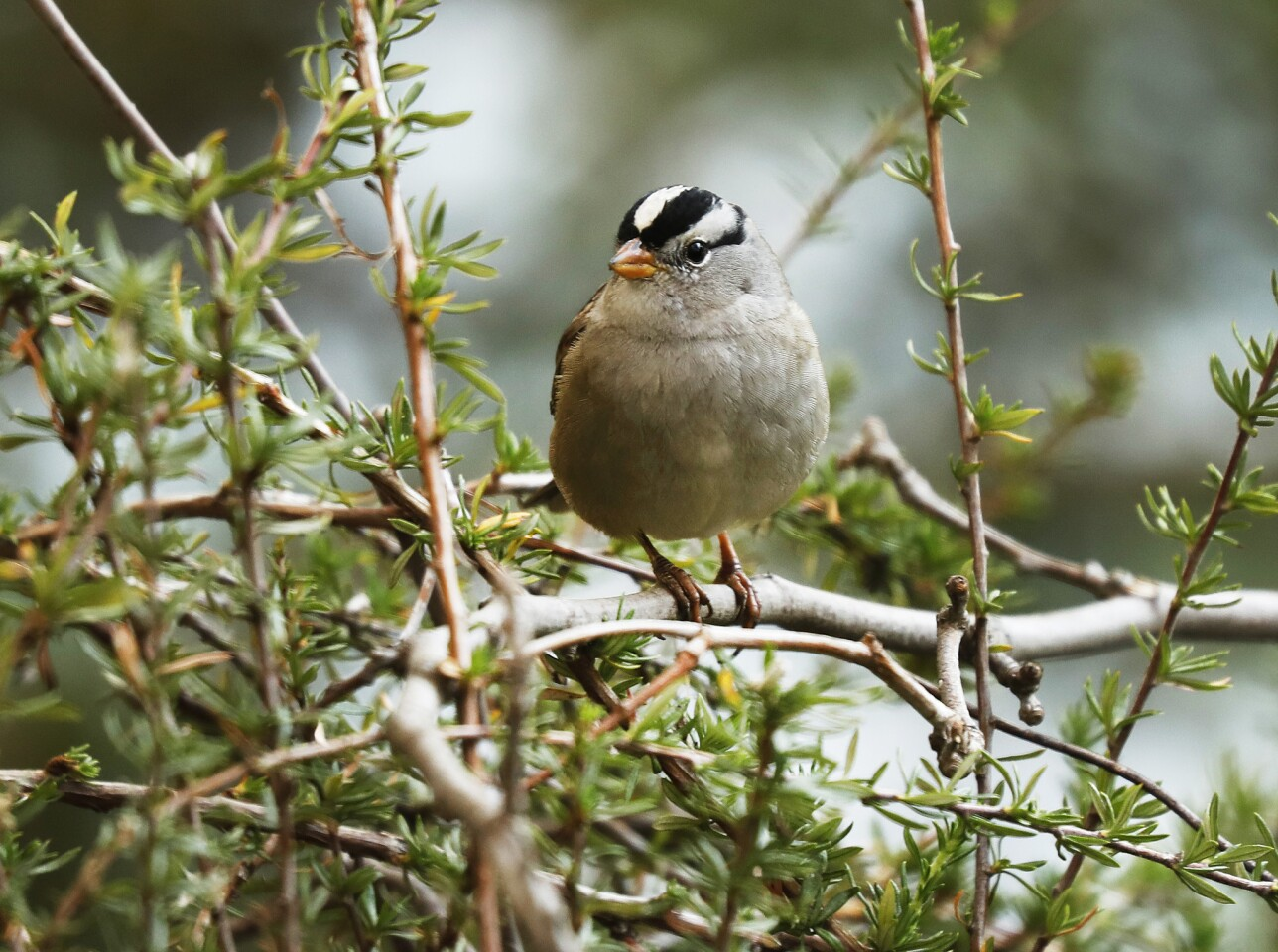 A white-crowned Sparrow is spotted in one of six small gardens at the L.A. Zoo. The Zoo hopes to inspire Californians to implement small ideas at home while helping birds in the process.