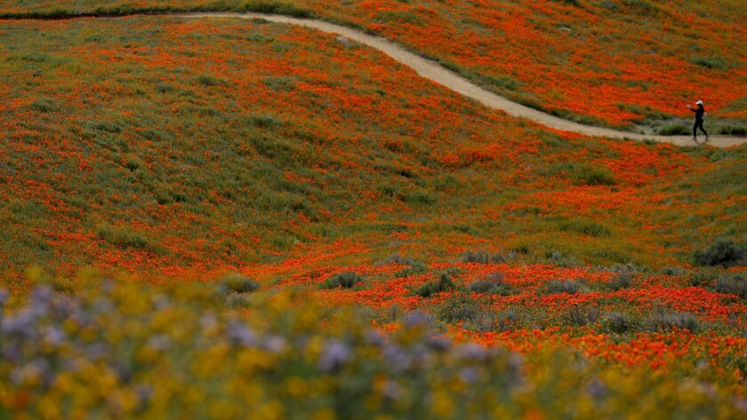 Poppies may continue to bloom for another month at the Antelope Valley California Poppy Reserve in Lancaster. In this photo, a visitor Tuesday explores a trail at the reserve.