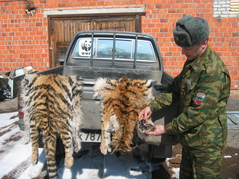 Russia levies rare punishment for poaching tigers