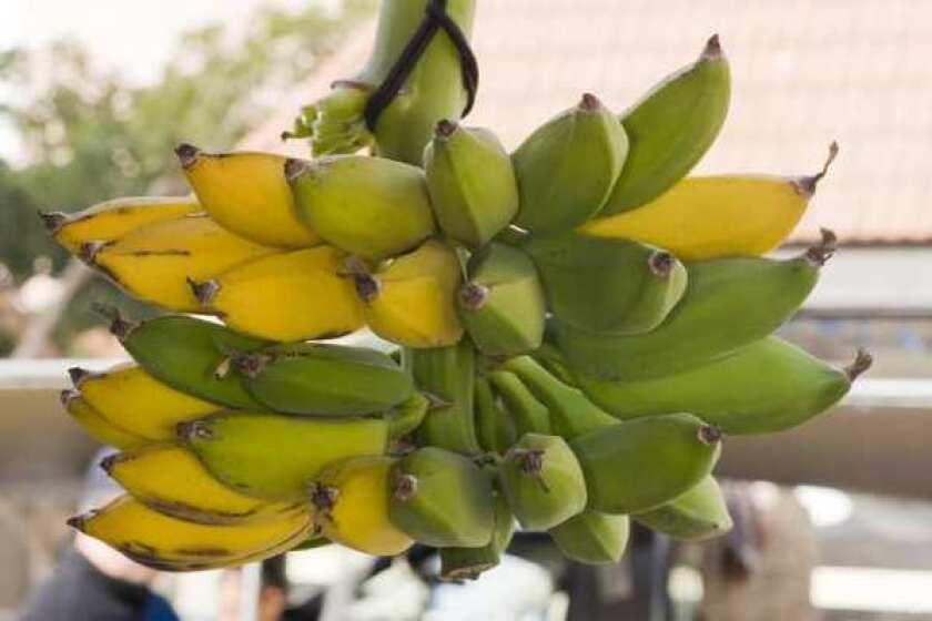 Sequencing the banana genome reveals that domestication of the fruit was a complicated process.