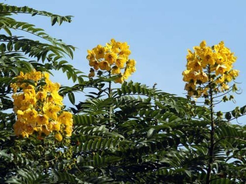 Bright yellow blooms of the gold medallion tree. Photo: Jeremy W. Smith