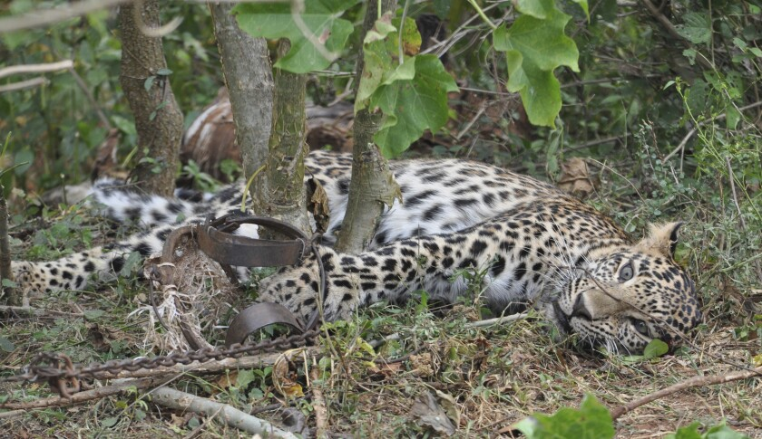 This November 2014 photo provided by the Wildlife Trust of India shows a leopard caught in a trap in a forest in Karnataka, India. Authorities in India are concerned a 2020 spike in poaching not only could kill more endangered tigers and leopards but also species these carnivores depend upon to survive. (WTI via AP)