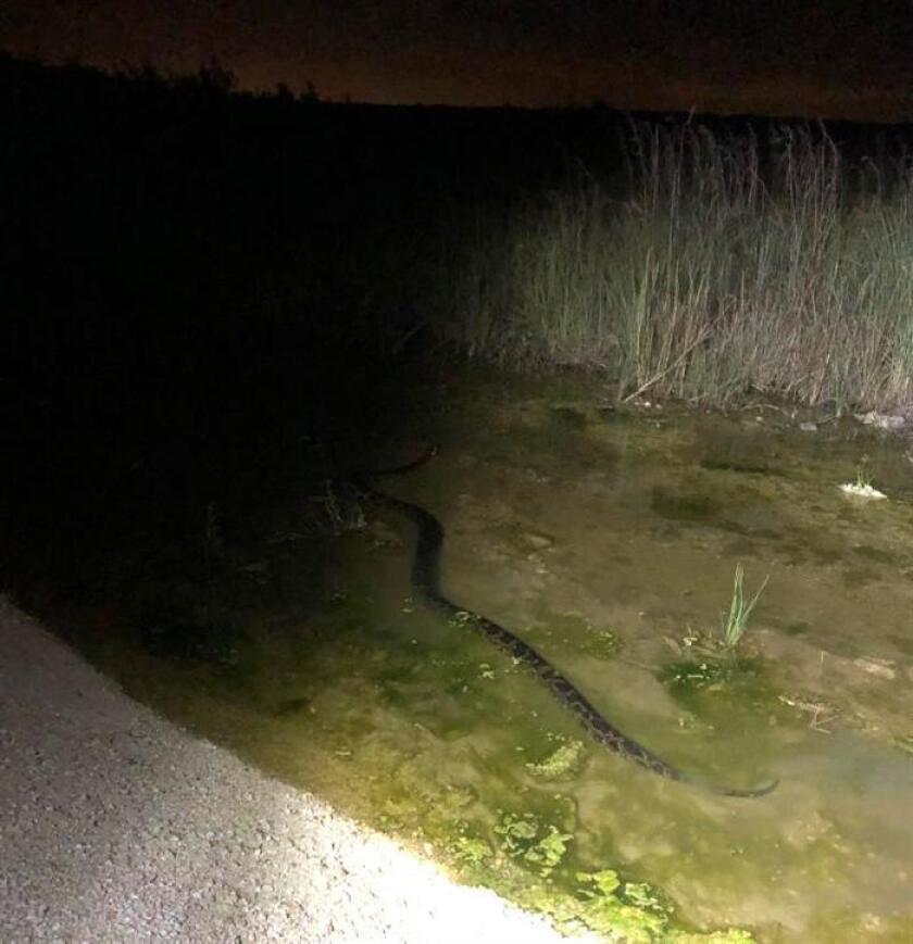 Fotografía sin fecha cedida hoy, jueves 8 de noviembre de 2018, por la junta de gobierno del Distrito de Administración de Aguas del Sur de Florida (SFWMD) donde aparece una serpiente pitón birmana en los Everglades en Miami, Florida (EEUU). EFE/