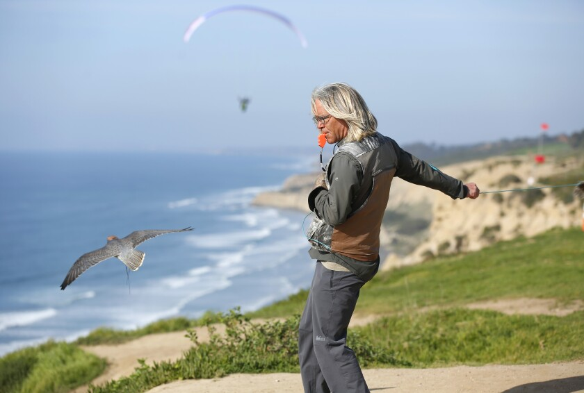 David Metzgar works with his falcon Sophia doing lure-flying at the Torrey Pines Gliderport in La Jolla on Jan.14, 2020. Metzgar runs Total Raptor Experience, where he teaches (on land and air) about falcons, hawks and owls. Guests can also fly in a paraglider as his lanner falcon fly along side them.