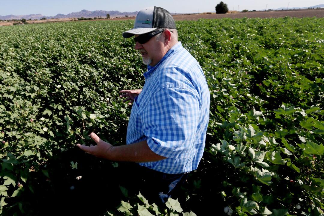 Farmer Brad Robinson looks over his cotton crop in the fields near Blythe.