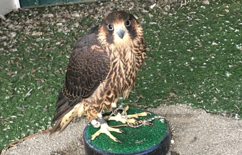 Lena, a peregrine falcon