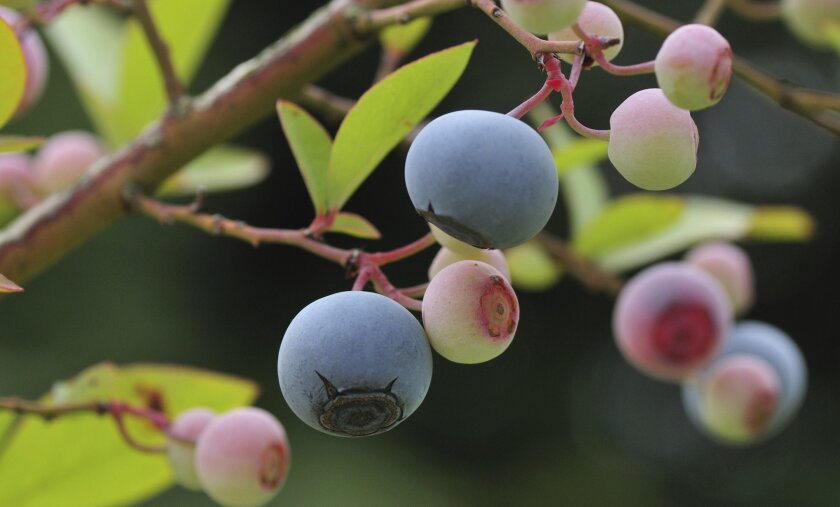 Southern Highbush varieties of blueberries grow well in warmer climates.