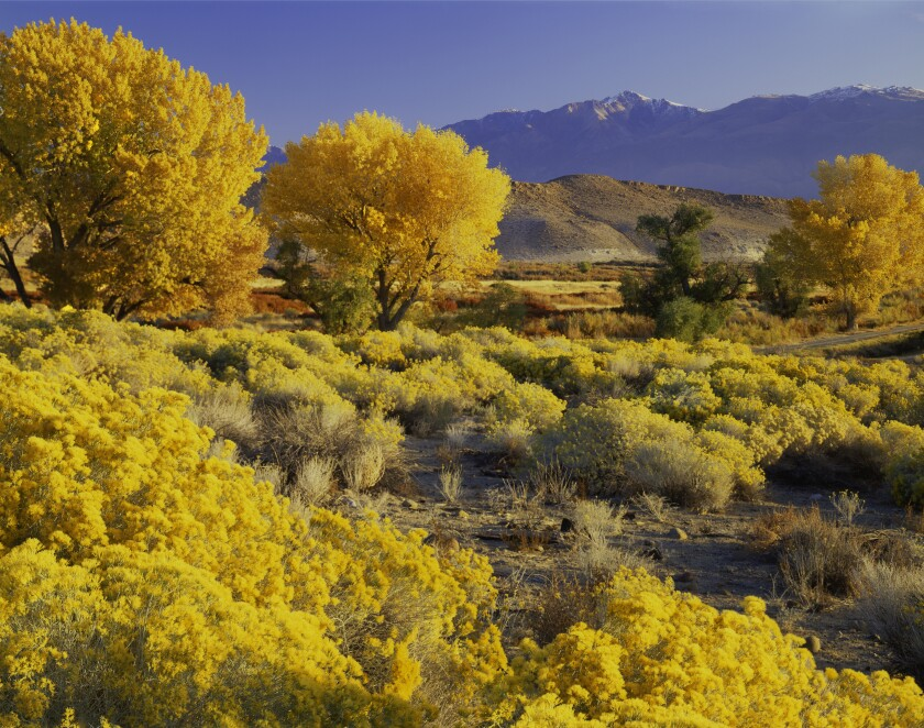 Cottonwood trees lining the Owens Valley along the Eastern Sierra in California, reveal a brilliant gold in autumn.