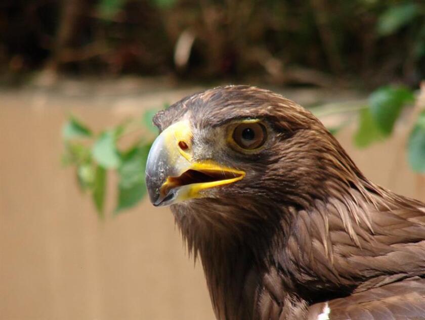 Fotografía cedida hoy, martes 13 de febrero de 2018, por la Comisión Nacional para el Conocimiento y Uso de la Biodiversidad (CONABIO), de un águila real. EFE/Carlos E. Galindo Leal/CONABIO/SOLO USO EDITORIAL