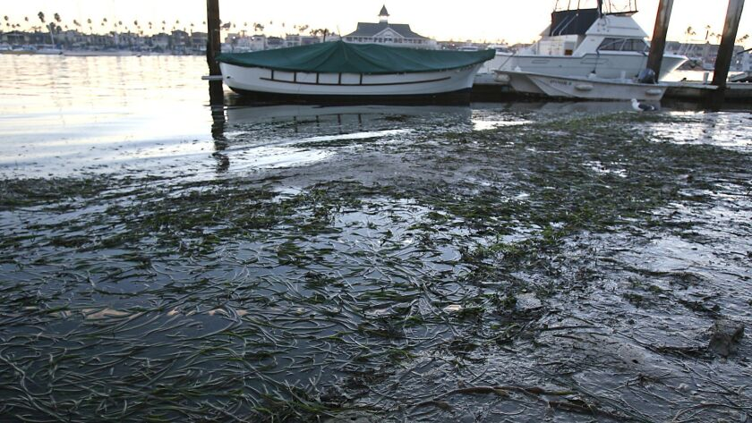 Eelgrass grows in front of resident Seymour Beek's house on Balboa Island, shown above during a minu