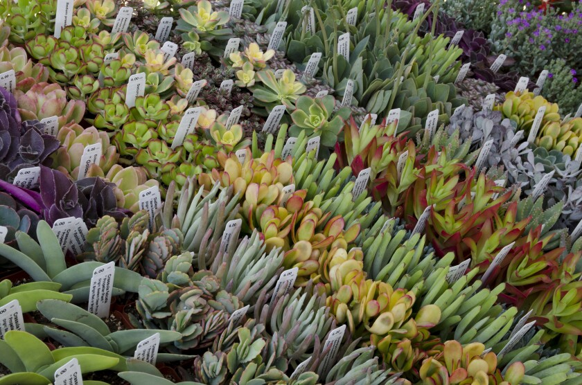 Succulents are popular items at many of this fall's plant sales, but look for California native plants, cool-weather vegetable starts, trees and shrubs as well, since fall is prime planting season in Southern California.