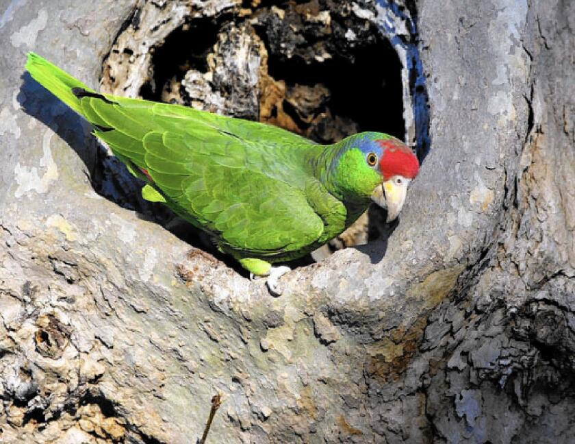Wild parrots nest in holes in trees, and though there is some competition with local owls for those spots, the parrots generally move in after the owls and their young have vacated.
