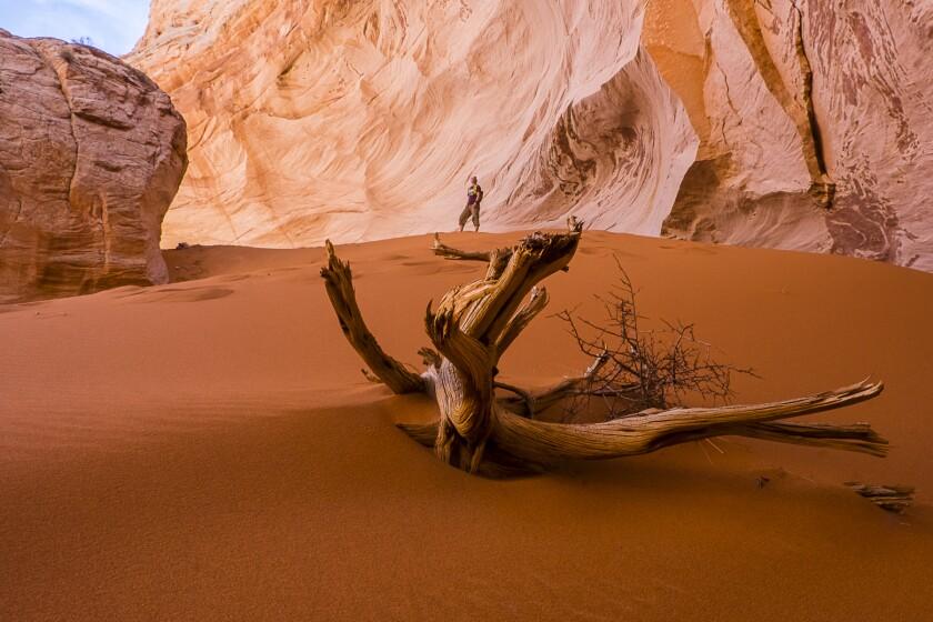 Junipe snag in sand in a sandstone alcove