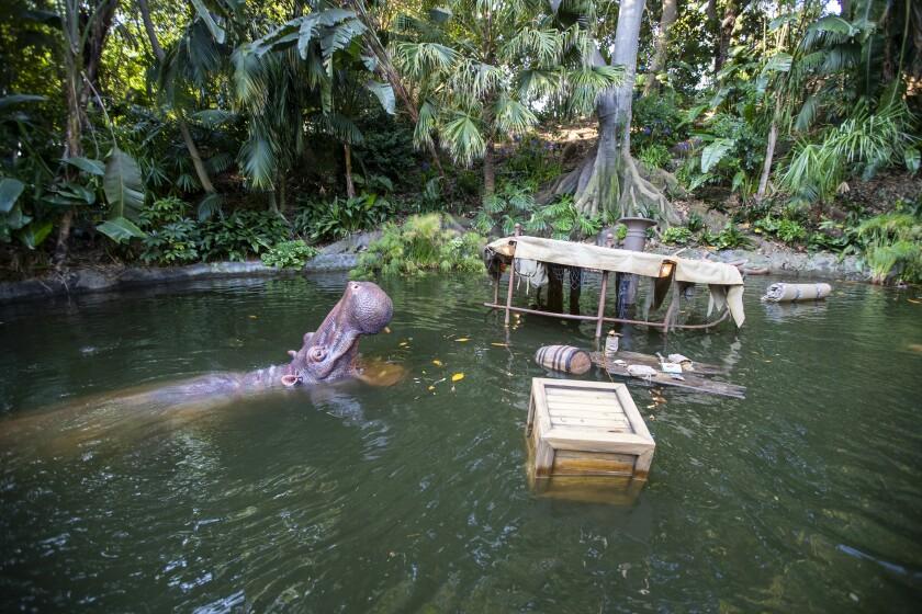A hippopotamus on the Jungle Cruise.