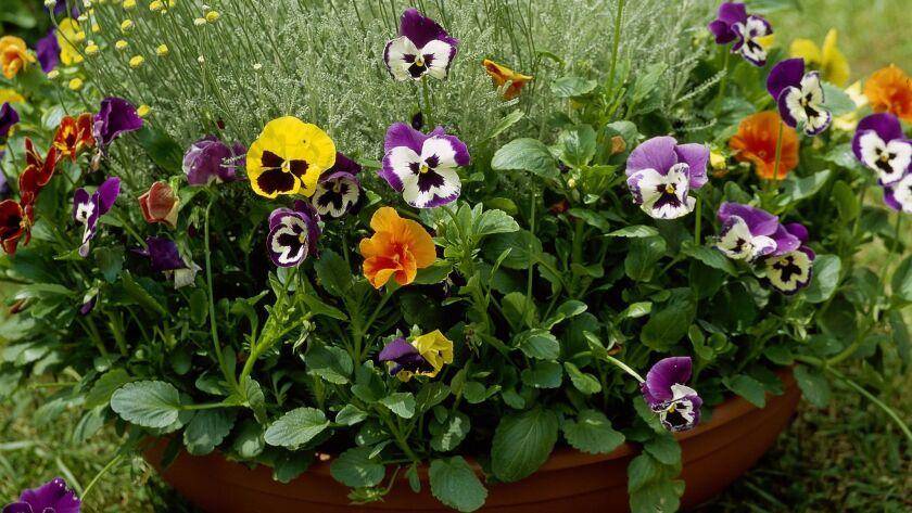 Potted pansies (Viola).