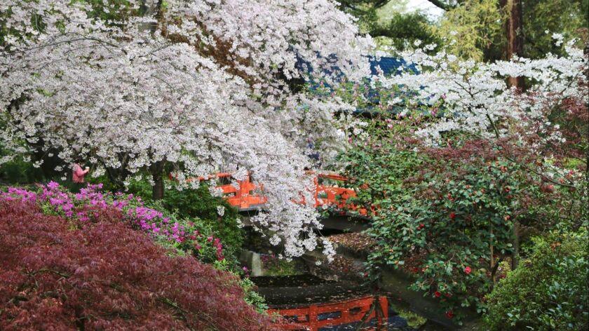 LA CAÑADA FLINTRIDGE, CA. -- Sprawling cherry blossoms provide a graceful layering in Descanso Gard