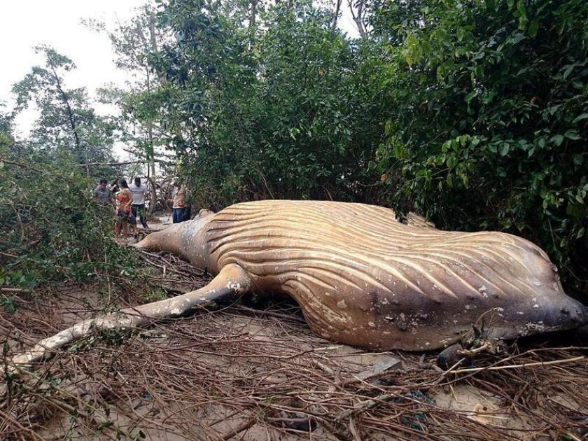 Photo taken on Feb. 23, 2019, of a humpback whale found dead in a mangrove swamp on an island in the Amazon state of Para after being driven ashore by the powerful tides that engulfed the region. EFE-EPA/NGO Bicho D'Agua