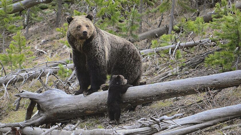 This April 29, 2019 photo provided by the United States Geological Survey shows a grizzly bear and a