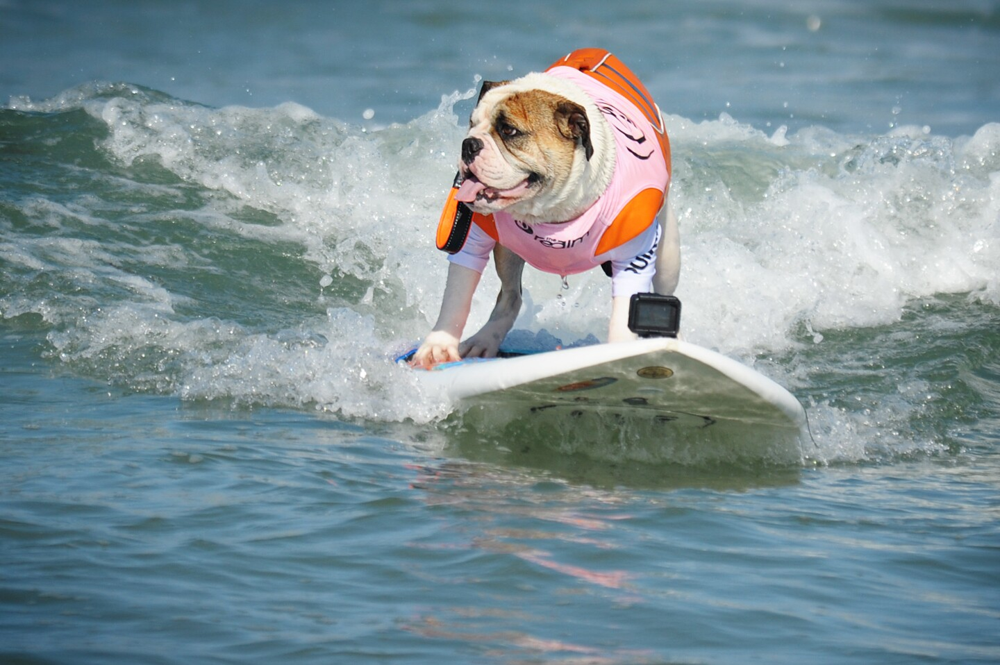 Fearless surFUR dogs competed in the 14th annual Imperial Beach Surf Dog Competition on Saturday, August 10, 2019.