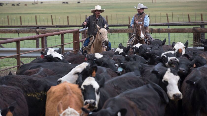 OLANCHA, CA -- THURSDAY, MAY 14, 2015: Kyler Hanson, left, and Mark Lacey, right, count cattle as t