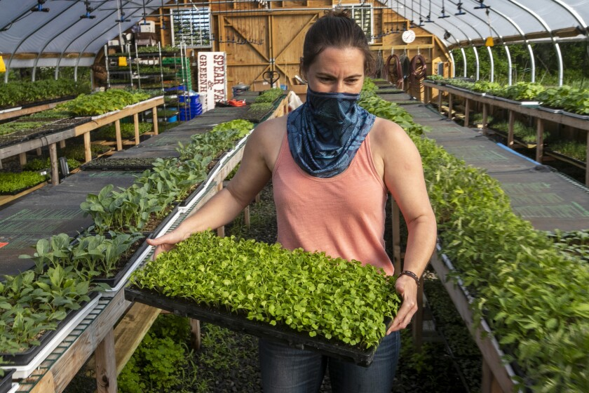 Jamien Richardson moves a tray of baby arugula in a crop house at Spear Spring Farm in Warren, Maine.