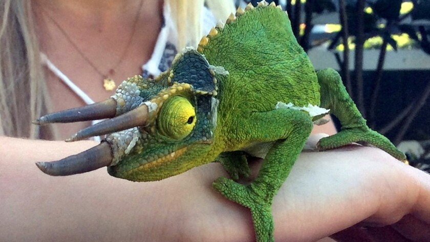Carl, a chameleon that lives on a Hawaii Island coffee plantation, won't win any beauty contests, but the three-horned lizard is gaining fame as the subject of two children's books.