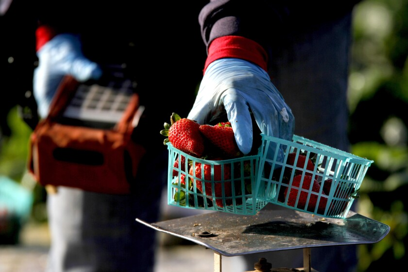 Strawberries are weighed and the data inputted at a UC Davis field in Watsonville.