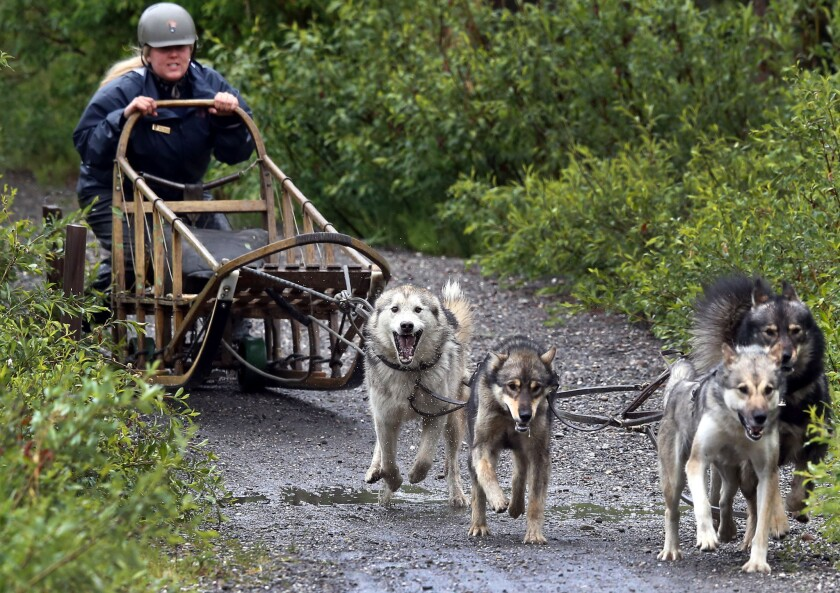 A summer dog sled demonstration with rubber-covered sleigh rails in Denali National Park and Preserve, where these supply-delivering dogs are truly rangers' best friends.