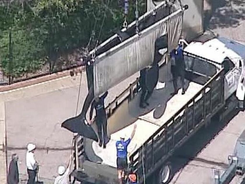 Sumar is lifted into a truck. A necropsy is planned for Wednesday. Photo courtesy of 10 News.