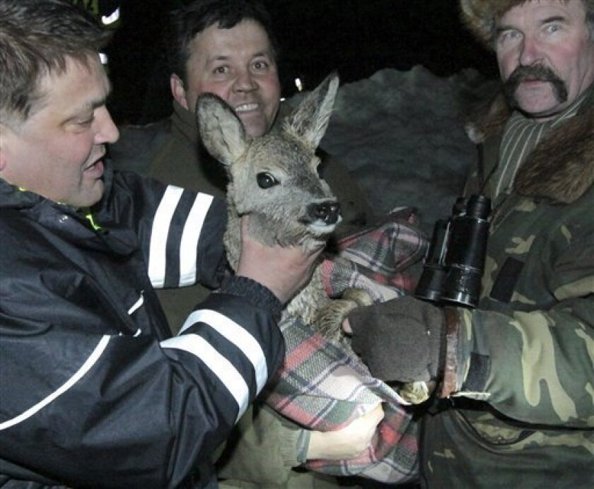 In this picture taken on Tuesday, Jan.4, 2011 at the Baltic Sea coast near Ustronie Morskie, Poland, firefighters carry a roe-deer they had just saved from a sheet of ice drifting on the Baltic Sea. Tow deer were spotted stranded on ice off Poland's coast on Tuesday. One was chased back to land, but the other one drifted off to the sea. Firefighters took risks to save it. ( AP Photo/ Pawel Smaruj )
