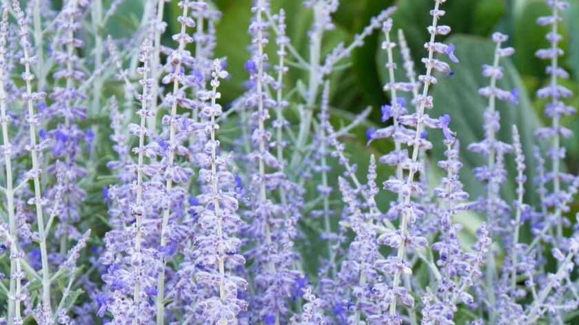 'Lacey Blue' Russian sage blooms summer through fall.
