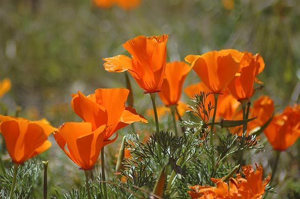 Eschscholzia californica, the state flower, is in full bloom at the Antelope Valley California Poppy Reserve in the high desert west of Lancaster.
