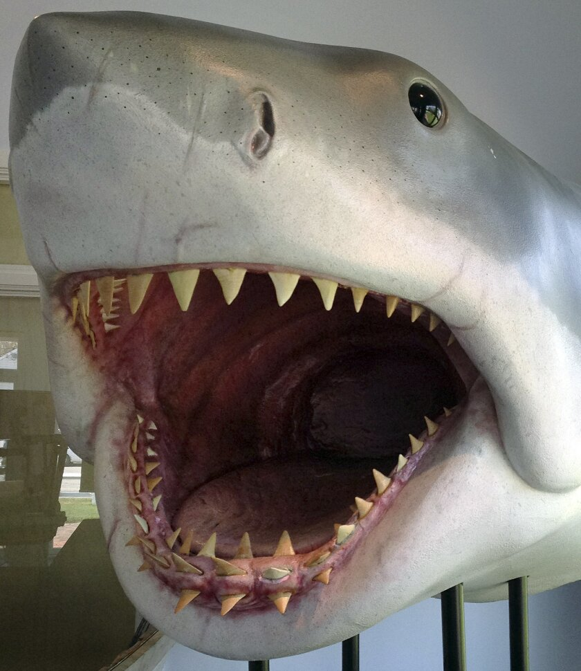 """In this Wednesday, May 25, 2016 photo, a replica of the great white shark head used in the movie """"Jaws"""" is displayed at the Atlantic White Shark Conservancy's Chatham Shark Center in Chatham, Mass. Officials and researchers from Cape Cod to the Carolinas are looking at responses ranging from the hi"""