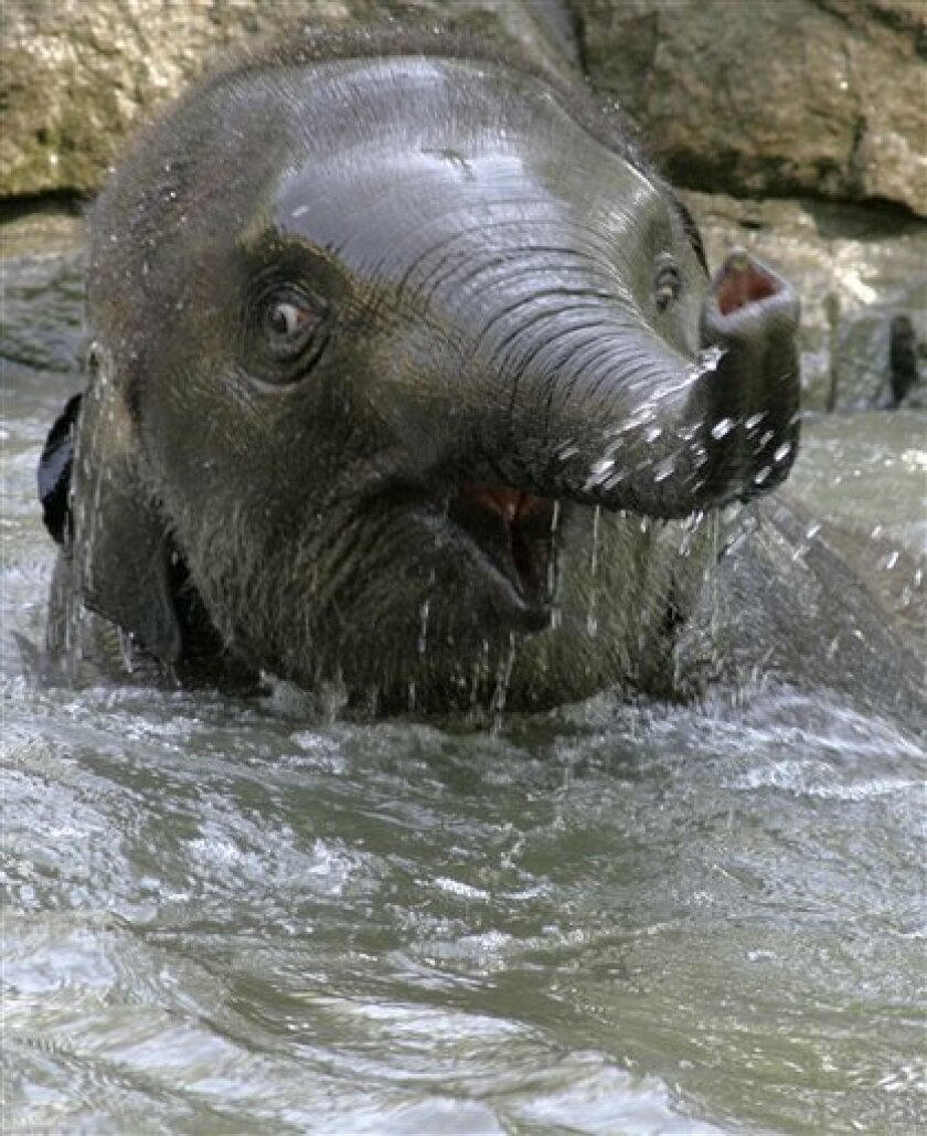"""FILE - In this July 20, 2006 file picture Elephant """"Shaina Pali"""" enjoys a refreshing bath on a hot summer day in the Berlin Zoological Garden. The Berlin Zoo says another young animal has died unexpectedly, only two weeks after celebrity polar bear Knut passed away. Spokeswoman Claudia Bienek said six-year-old Indian elephant Shaina Pali died early Tuesday morning April 5, 2011. Elephants can live up to about 80 years in captivity. She says the zoo's veterinarian thinks the elephant died of an infection but tests will be performed to determine the exact cause of death. (AP Photo/Fritz Reiss,File)"""