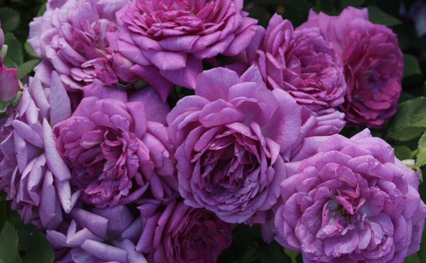 Life's Little Pleasures is a Bédard miniflora with masses of old-fashioned lavender flowers.