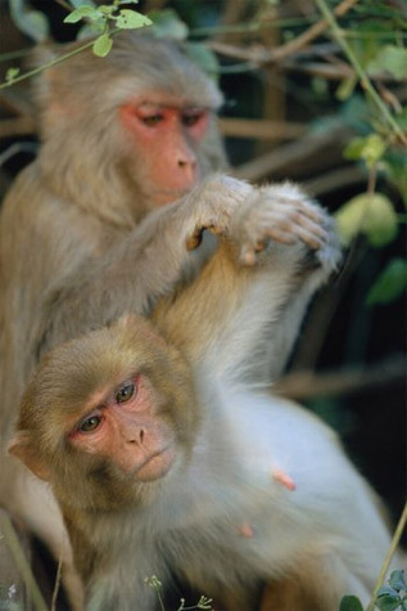 Vaccine seems to clear monkeys of HIV-like infection; humans next?